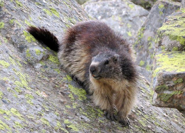 Marmotta nel Gran Paradiso parco Nazionale - Gran Paradiso Aosta