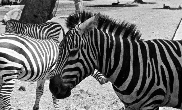 Zebra nello zoo - Puglia