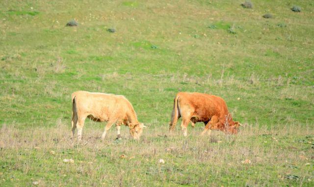 Mucche al pascolo - Sardegna - Movingitalia.it