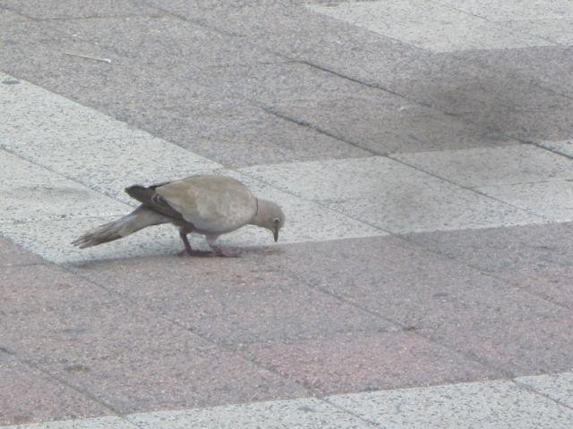 Primo piano piccione Sant'Antioco - Movingitalia.it