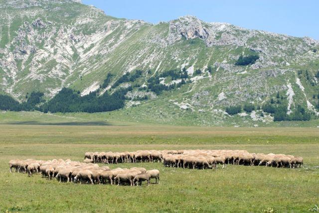 Pecore in - Abruzzo