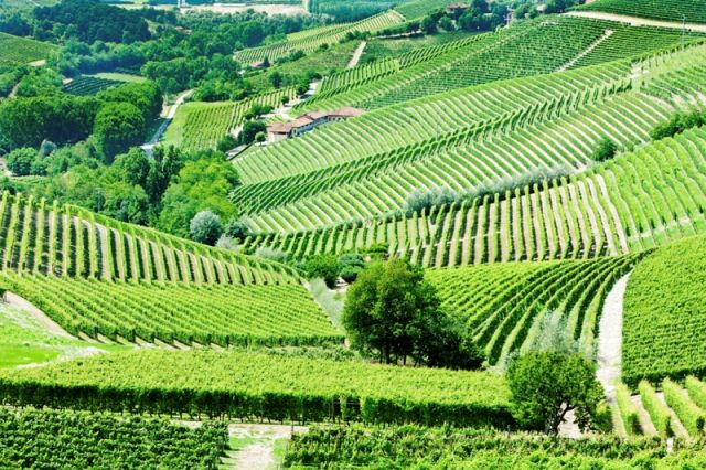 Campi di Vigneto - Barbaresco - Movingitalia.it