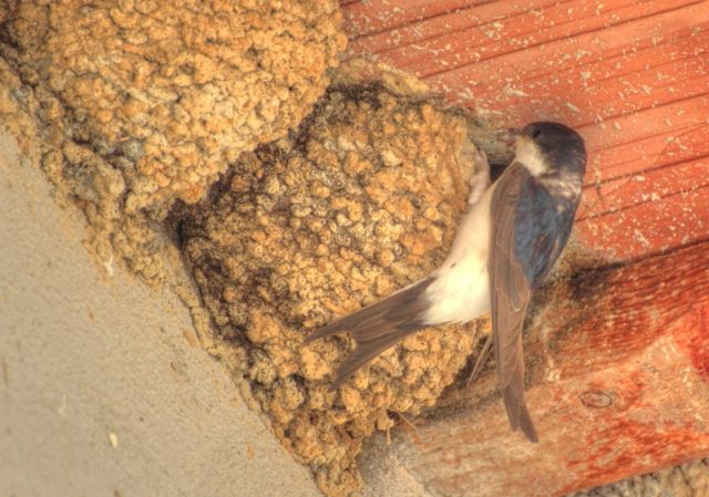 Rondine costruendo il nido - Lazio