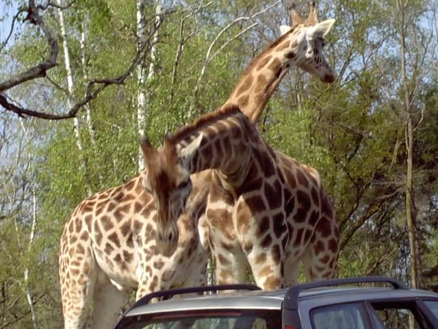 Giraffe zoo safari Pombia