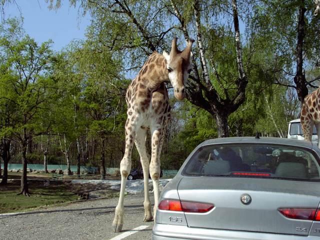 Giraffa zoo safari Pombia