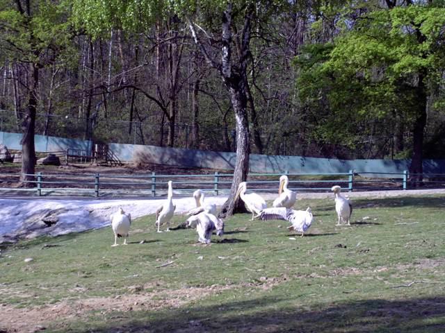 Pellicani zoo safari Pombia
