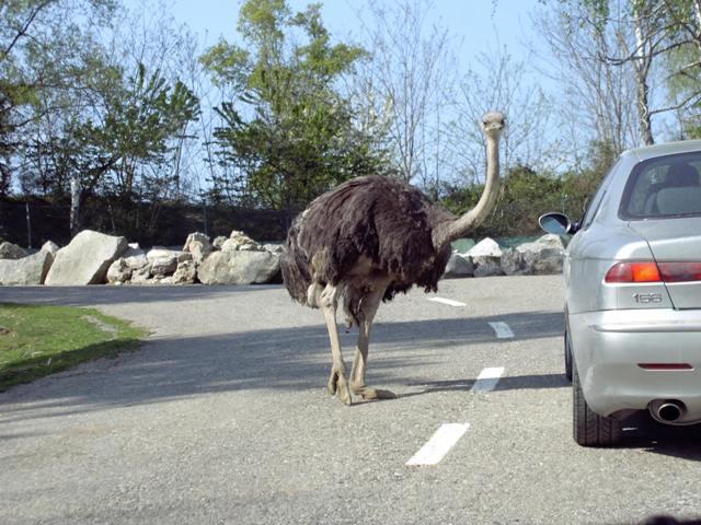Struzzo zoo safari Pombia