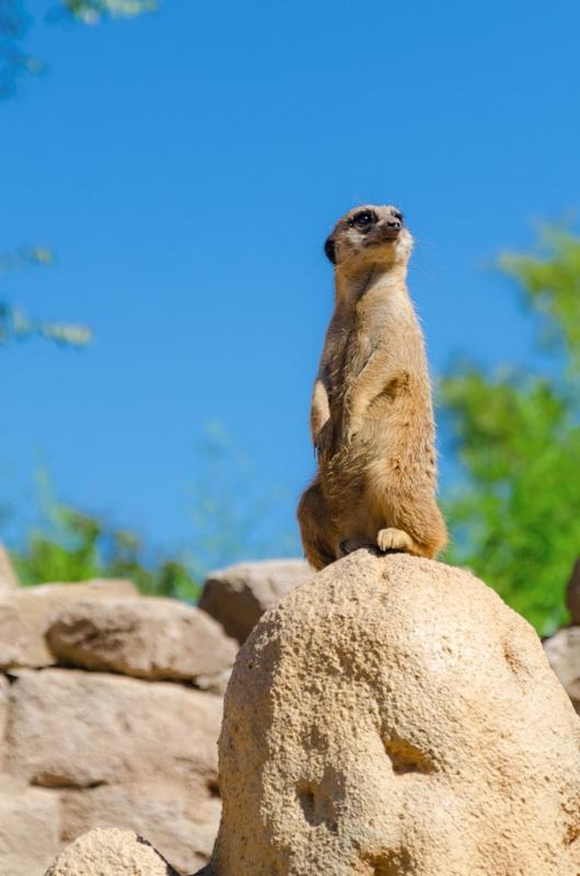 Suricata allo zoo - Piemonte