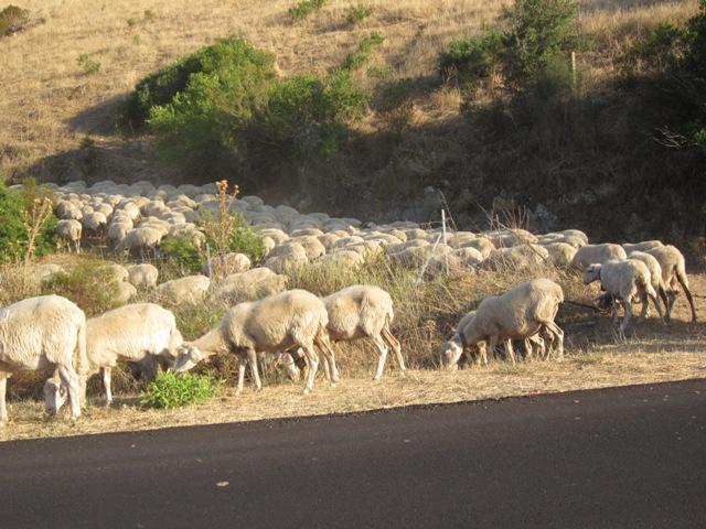 Pecore al pascolo strada Diga di Torpè - Movingitalia.it