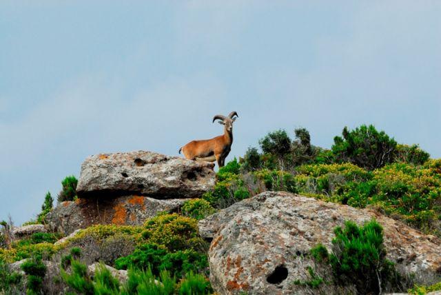 Muflone sul monte - Sardegna - Movingitalia.it
