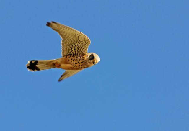 Falco - Sardegna
