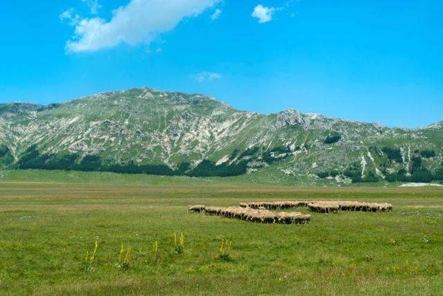 Numeroso gregge di pecore - Abruzzo