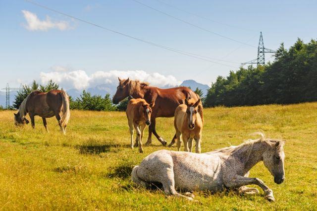 Cavalli al pascolo sull'Appennino - Piacenza Emilia Romagna