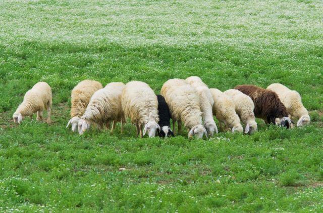 Gregge di pecore - Piacenza