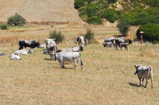Mucche al pascolo - Basilicata
