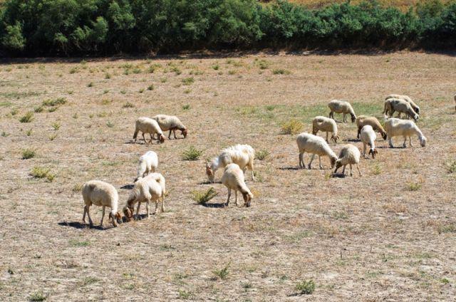 Pecore al pascolo - Basilicata