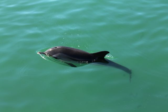 Piccolo delfino a Darsena Romana del Porto alla Stenella foto: Francesca Agozzino