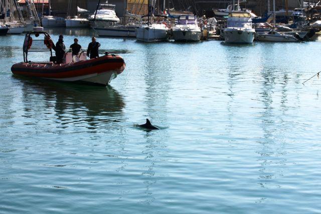 Salvataggio di un delfino a Darsena Romana del Porto alla Stenella foto: Francesca Agozzino