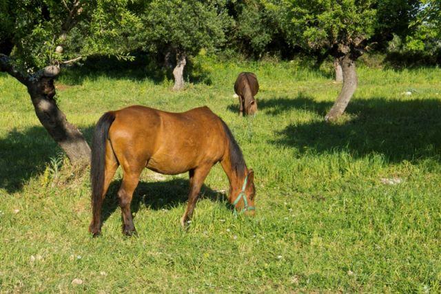 Cavallo in mezzo alla natura e al pascolo - Puglia