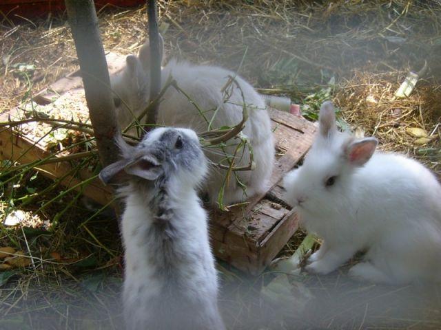Piccoli conigli ad Arcisate