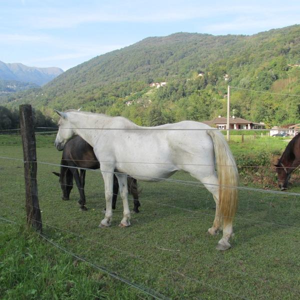 Cavalli al pascolo a Lavena Ponte Tresa