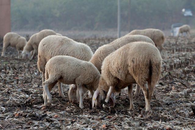 Gregge di pecora che mangiano - Lombardia