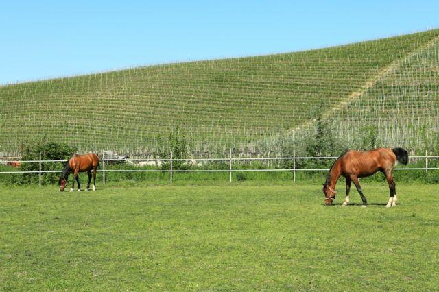 Cavalli al pascolo - Piemonte